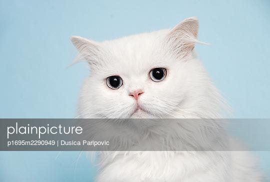 Portrait of white cat - p1695m2290949 by Dusica Paripovic