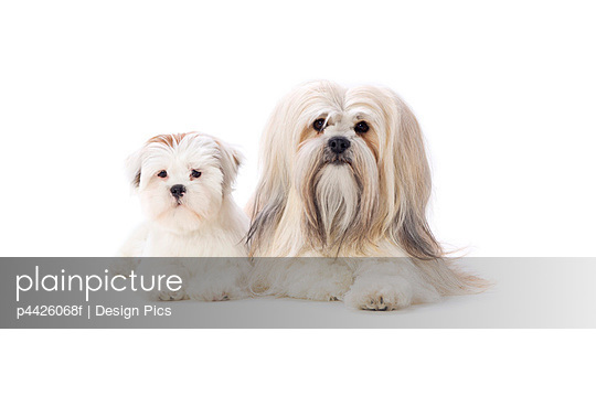 Adult and puppy Lhasa Apso dogs - p4426068f by Design Pics
