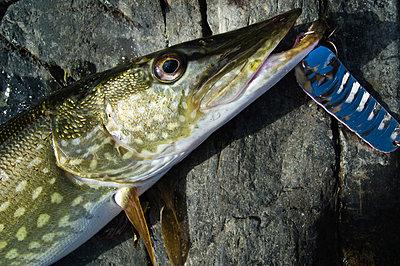 Newly caught pike - p1418m1572015 by Jan Håkan Dahlström