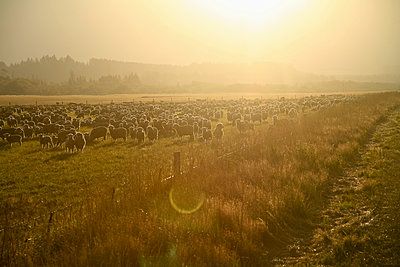 New Zealand, Flock of sheep at sunset light - p300m2207150 by André Wagner
