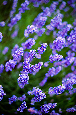 Lavender, close-up - p947m2193545 by Cristopher Civitillo