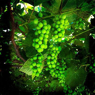 Bunch of green grapes  - p813m1481230 by B.Jaubert