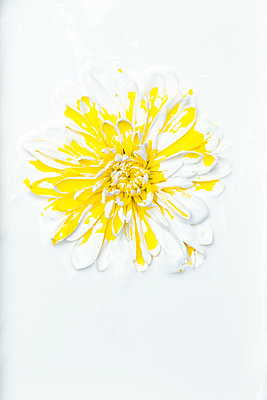 Gerbera flower covered with white paint - p919m2195665 by Beowulf Sheehan