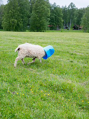 Sheep walking in meadow with bucket on head - p312m1113720f by Johan Willner