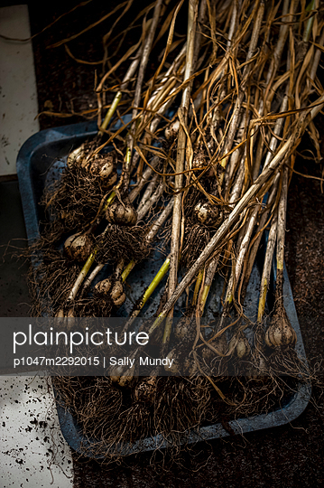 Homegrown garlic harvest freshly picked from garden - p1047m2292015 by Sally Mundy