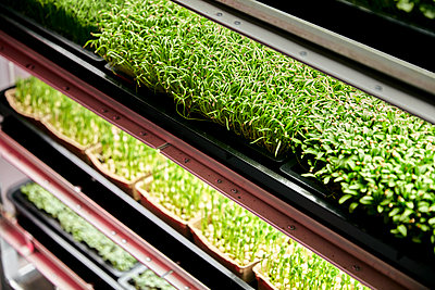 Trays of microgreen seedlings growing in urban farm - p1100m2271580 by Mint Images