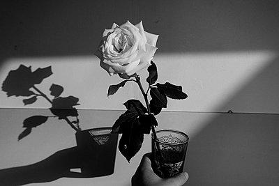 Weiße Rose - p1189m1218676 von Adnan Arnaout