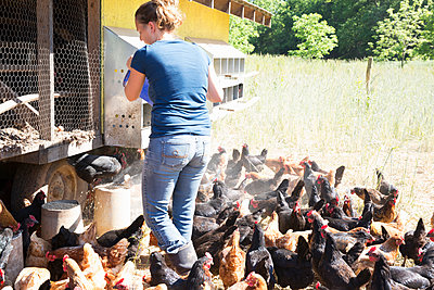 Woman feeding free range golden comet and black star hens on organic farm - p924m1513584 by Melissa Goodwin