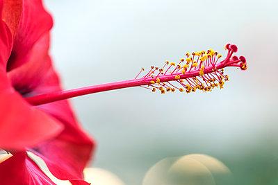 Hibiskusblüte - p401m1225791 von Frank Baquet