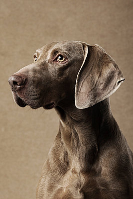Portrait of a dog - p4031100 by Helge Sauber