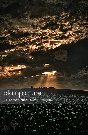 Dramatic Evening Sky With Poppies - p1166m2207956 by Cavan Images