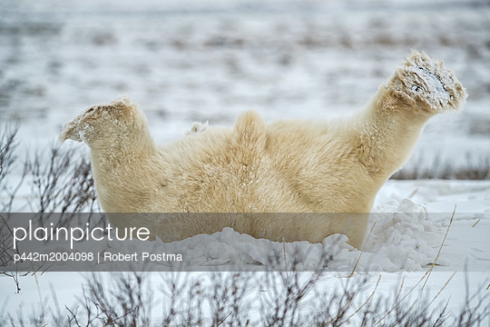 Polar bear (Ursus maritimus) lying down playing in the snow; Churchill, Manitoba, Canada - p442m2004098 by Robert Postma