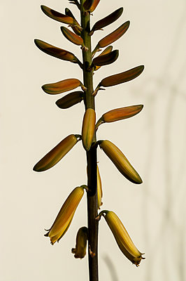Close-up of aloe vera flower - p1047m1124193 by Sally Mundy
