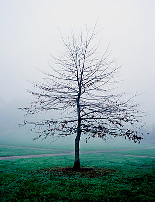 Tree in morning fog - p1125m1108634 by jonlove