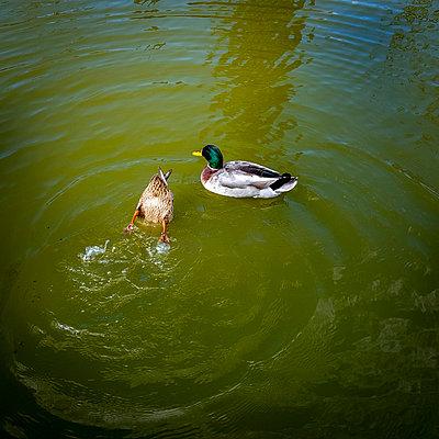 Dabbling duck - p813m1131956 by B.Jaubert