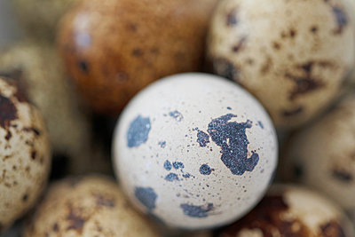 Close-up Of Quail Eggs  - p847m1529130 by Laura Leyshon