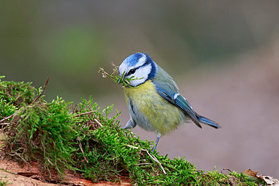 Blue Tit collecting nesting material, North Rhine-Westphalia, Germany - p884m1510116 by Hans Glader/ BIA