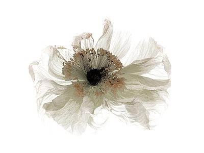 White poppy flower - p1677m2258579 by nina e. reiter
