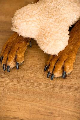 Dog paw with fur  - p2686763 by Arne Landwehr