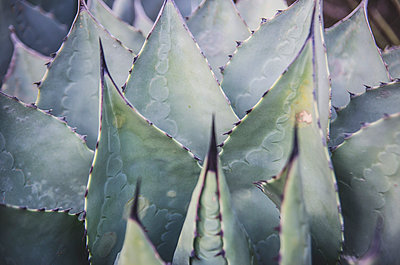 Close-up of Agave Plant - p694m1403874 by Eric Schwortz