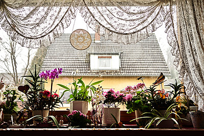 Variety of flowers on windowsill and old-fashioned curtain - p1312m2182148 by Axel Killian