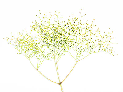 Elderflower buds - p401m2185696 by Frank Baquet