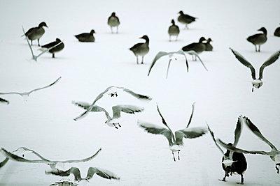 Gänse und Möwen im Schnee - p415m661179 von Tanja Luther