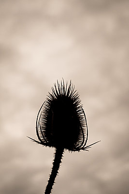 Thistle - p1228m1087514 by Benjamin Harte