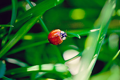 Ladybird perching on blade of grass - p300m1019055f by Laura Stolfi