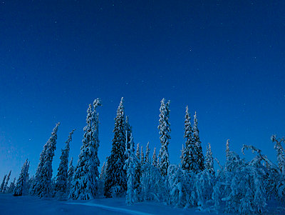 Pine trees at winter - p312m970085 by Fredrik Ludvigsson