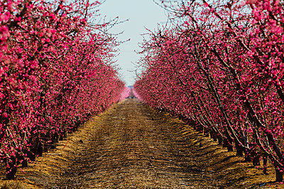 Trees flowering in orchard - p555m1459385 by Eric Raptosh Photography