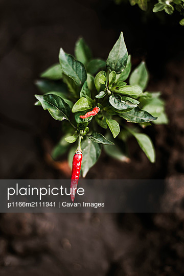 Red hot chill peppers - p1166m2111941 by Cavan Images