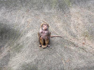 Monkey - p1174m1015344 by lisameinen
