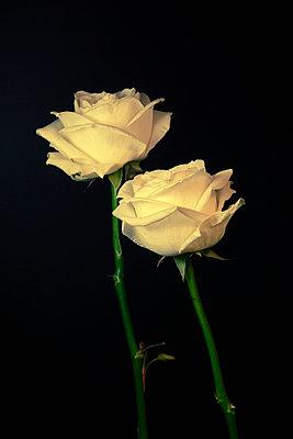 Weiße Rosen - p3300363 von Harald Braun