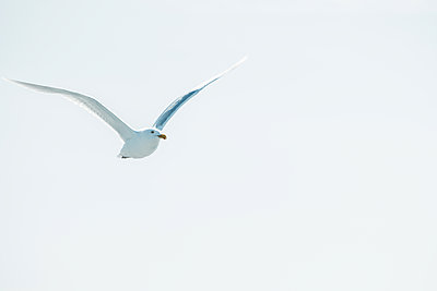 Iceland, Seagull in flight - p741m2108973 by Christof Mattes