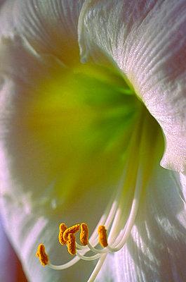 Weiße Amaryllis - p7570001 von Mimi Forsyth