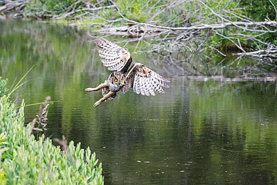 Flying Great Horned Owl  flying and hunting for muskrats in a small pond next to Potter Marsh, South-central Alaska; Anchorage, Alaska, United States of America - p442m1216435 by Doug Lindstrand