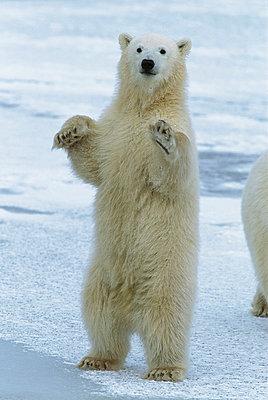 Polar Bear cub standing - p884m864566 by Matthias Breiter