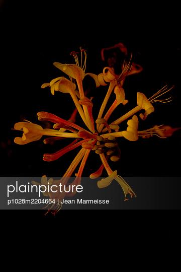 Common honeysuckle (Lonicera periclymenum), Luberon, Provence, France - p1028m2204664 von Jean Marmeisse