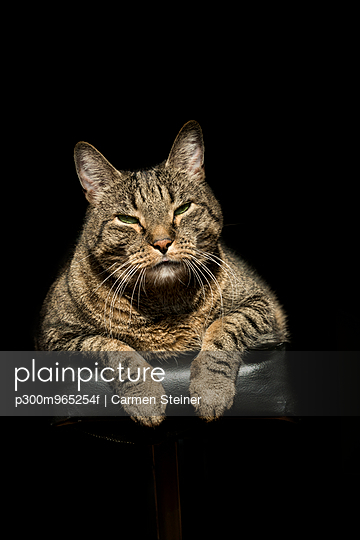 Portrait of European Shorthair relaxing on piano - p300m965254f by Carmen Steiner
