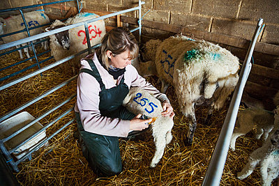 Woman kneeling in a stable, painting a blue number on a newbon lamb. - p1100m1450925 by Mint Images