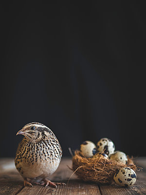 Quail next to a nest of eggs  - p1522m2064640 by Almag