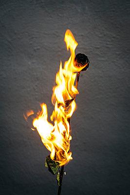 Burning rose - p1621m2263991 by Anke Doerschlen