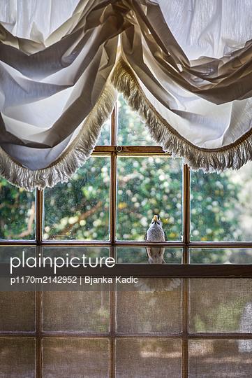 Bird in front the window - p1170m2142952 by Bjanka Kadic