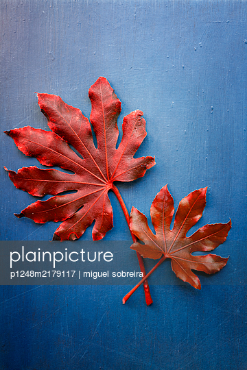 Red Fatsia Leaves  - p1248m2179117 by miguel sobreira