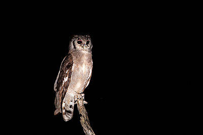 A Giant eagle owl, Bubo bubo, perches on a branch at night. - p1100m2271441 by Mint Images