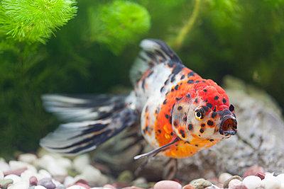 Freshwater fish - p307m976709f by Nobuyuki Yoshikawa