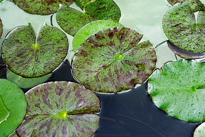 Close up of water lily pads on pond. - p343m1554650 by Ron Koeberer