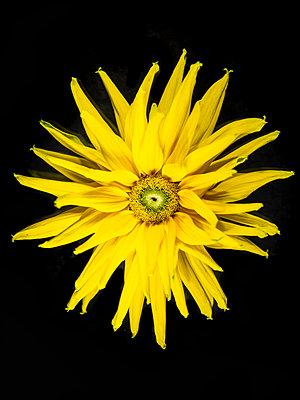 Rudbeckia Blossom - p401m2224593 by Frank Baquet