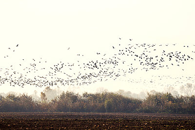 Flock of cranes - p739m949495 by Baertels